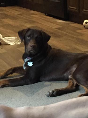 Lost Male Dog last seen Brooklyn Road Great Falls, SC, Great Falls, SC 29055