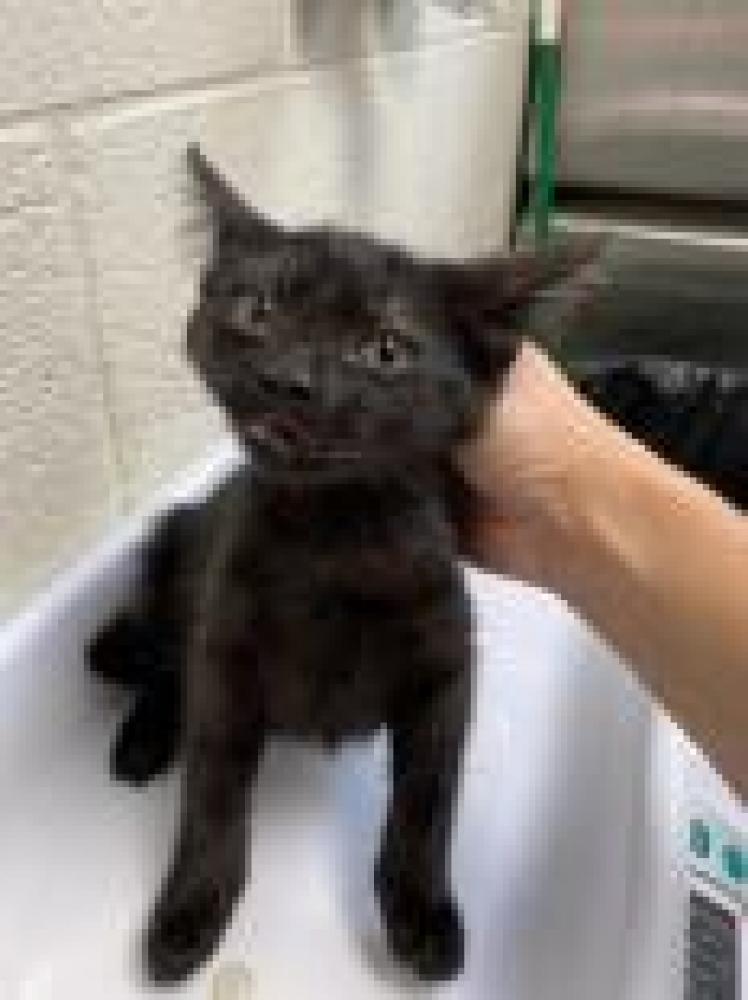 Shelter Stray Female Cat last seen Springfield, VA 22150, Fairfax, VA 22032