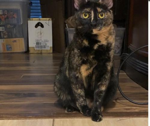 Lost Female Cat last seen Park Rd 57 and Big Berry Rd, Somerville, TX 77879