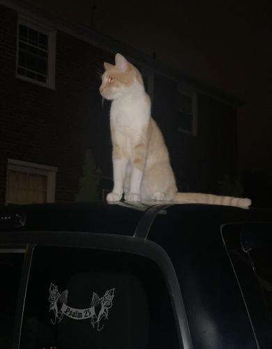 Lost Male Cat last seen Hyattsville md 20872, Hyattsville, MD 20782