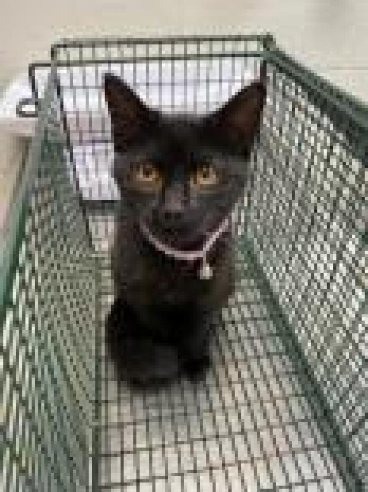 Shelter Stray Female Cat last seen Mount Vernon, VA 22309, Fairfax, VA 22032
