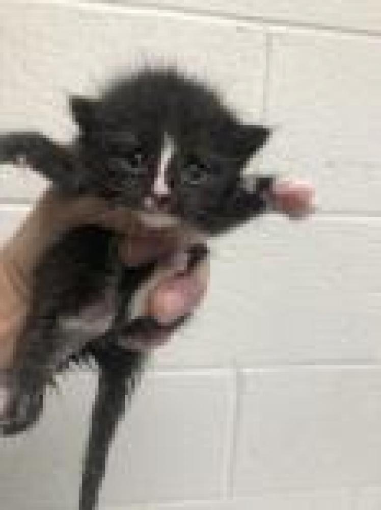 Shelter Stray Male Cat last seen Fairfax, VA 22032, Fairfax, VA 22032
