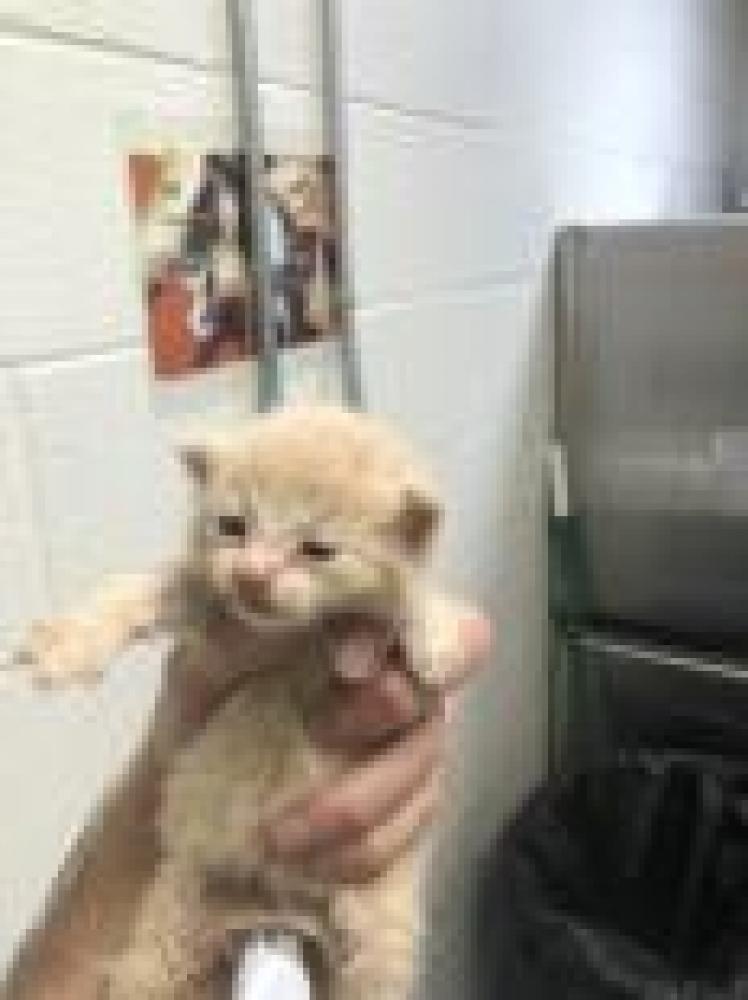 Shelter Stray Unknown Cat last seen Fairfax, VA 22032, Fairfax, VA 22032