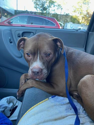 Found/Stray Male Dog last seen Garland and Greenwood, Takoma Park, Montgomery County, MD 20912