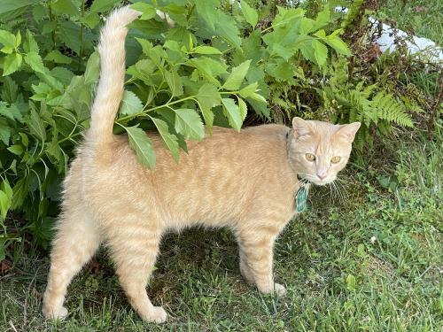 Lost Male Cat last seen Connecticut and Randolph , Wheaton-Glenmont, MD 20902