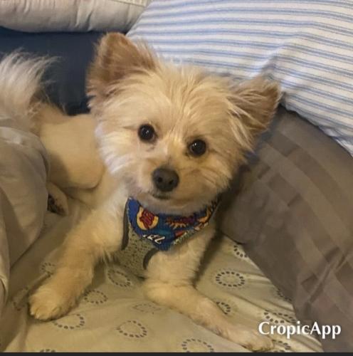Lost Male Dog last seen Boxwood DR. Morningside MD, Morningside, MD 20746