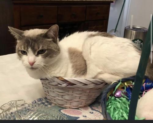Lost Female Cat last seen Spelman and Sontag and applecross near Orange Hunt elementary. , Springfield, VA 22153