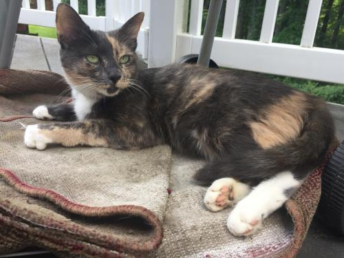 Lost Female Cat last seen Cliftonbrook lane , Silver Spring, MD 20905