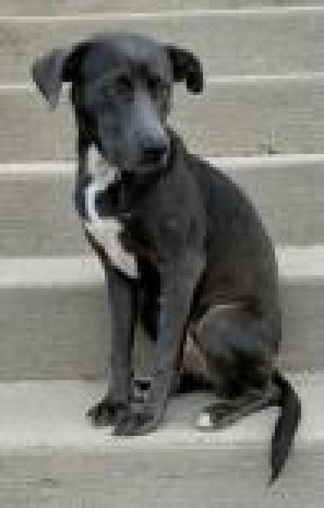 Shelter Stray Female Dog last seen Fairfax County, VA 22030, Fairfax, VA 22032