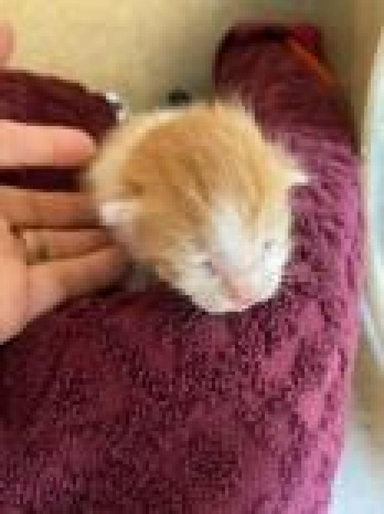 Shelter Stray Unknown Cat last seen Alexandria, VA 22306, Fairfax, VA 22032