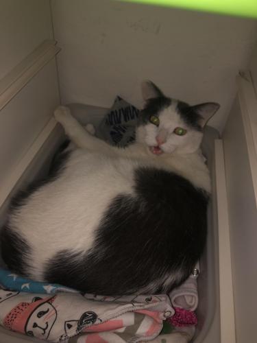 Lost Male Cat last seen El dorado lakes , Gilbert, AZ 85233