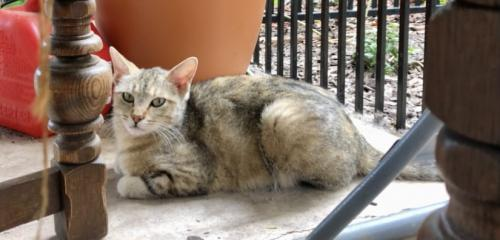 Lost Female Cat last seen 83rd Ave and northern, Maricopa County, AZ 85305