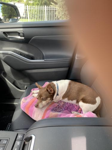 Found/Stray Female Dog last seen SR-849 Pompano Beach Fl , Pompano Beach, FL 33060