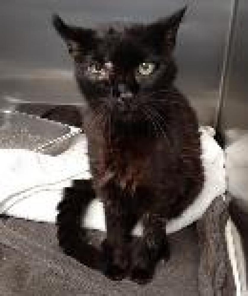 Shelter Stray Male Cat last seen Fairfax, VA 22033, Fairfax, VA 22032
