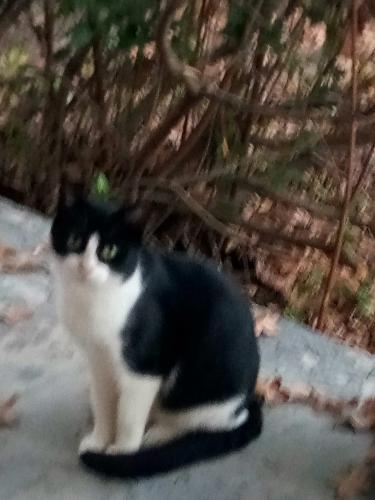 Lost Female Cat last seen Batchelor street and Brown street, West Columbia, SC 29169