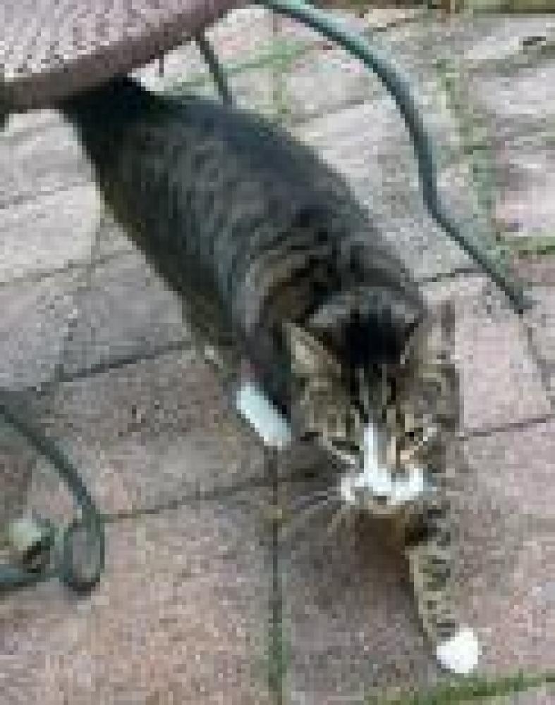 Shelter Stray Unknown Cat last seen Reston, VA 20190, Fairfax, VA 22032