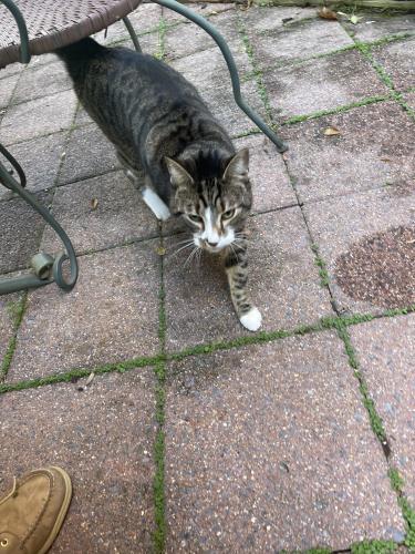 Found/Stray Unknown Cat last seen Hickory Cluster, Reston, VA 20190