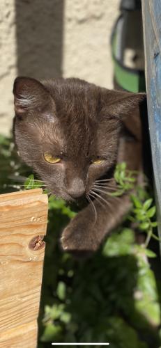 Lost Female Cat last seen Delaware and Yorktown , Huntington Beach, CA 92648