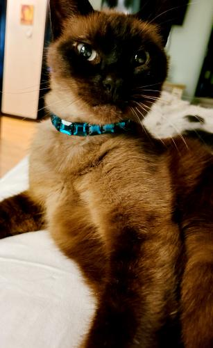 Lost Male Cat last seen Olympic Blvd. and Holt Avenue, Los Angeles, CA 90035