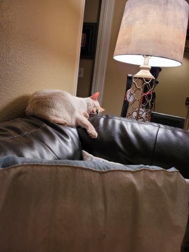 Lost Male Cat last seen 40th and Cactus, Phoenix, AZ 85032