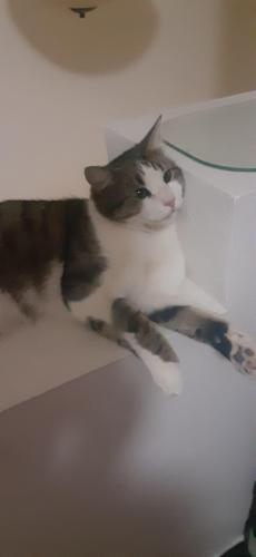 Lost Male Cat last seen 43rd and carver, Laveen Village, AZ 85339