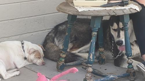Found/Stray Unknown Dog last seen 8th Ave and Sirrine , Mesa, AZ 85210