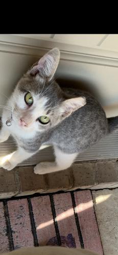 Lost Male Cat last seen 87th st , Odessa, TX 79765
