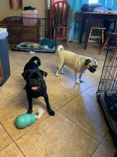 Lost Male Dog last seen 48th Avenue and Thunderbird Rd, Glendale, AZ 85306