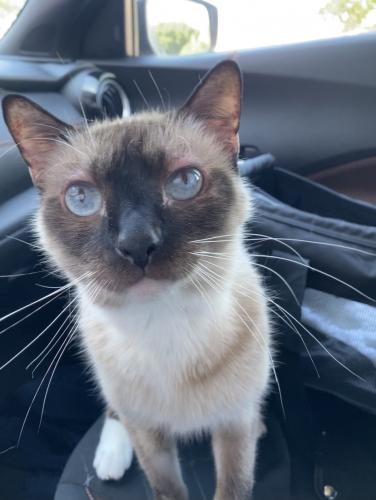 Lost Male Cat last seen Sparkman road and Liskeard Ave, Orange City, FL 32763