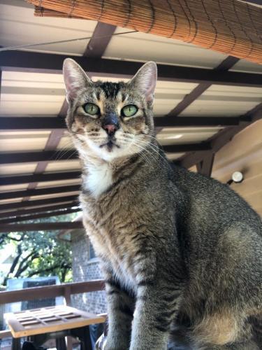 Lost Female Cat last seen Pin oak lane and bowen rd., Arlington, TX 76012
