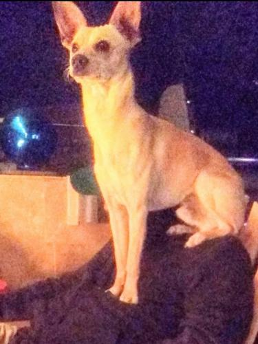 Lost Male Dog last seen Ran into large field at corner of 49th Ave and Peoria. , Glendale, AZ 85301