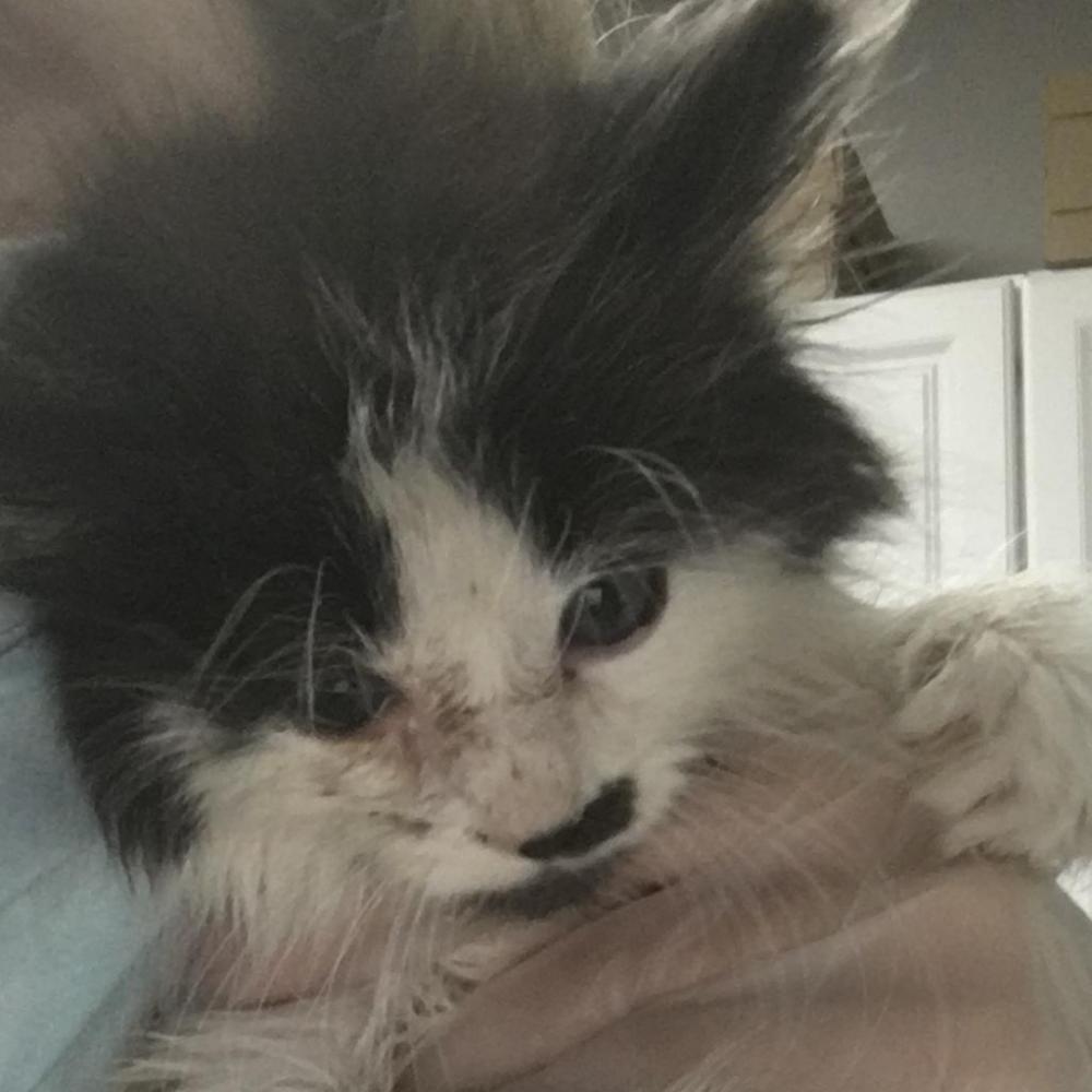 Shelter Stray Male Cat last seen , Greenville, SC 29601