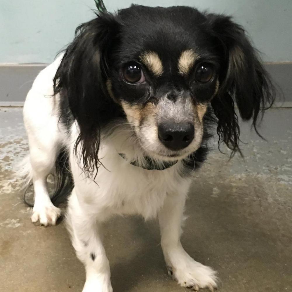Shelter Stray Female Dog last seen , Greenville, SC 29601
