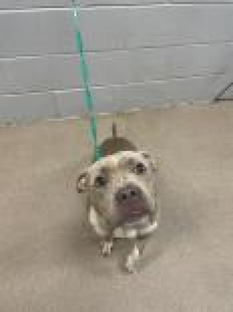 Shelter Stray Female Dog last seen Anderson, SC 29626, Anderson, SC 29622