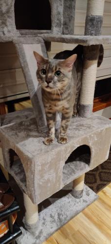 Lost Male Cat last seen Coach Hill SW , Calgary, AB T3H 1Y5