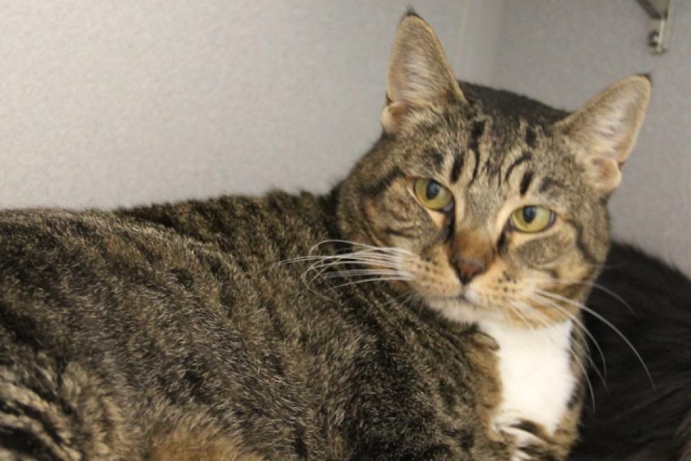 Shelter Stray Male Cat last seen , Tucson, AZ 85701