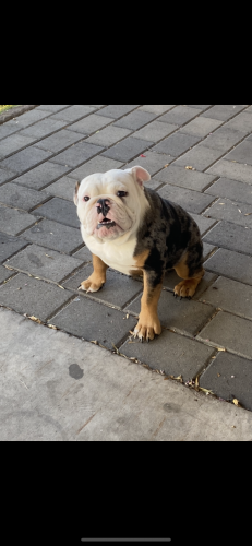 Lost Male Dog last seen 63rd ave and camelback , Phoenix, AZ 85033