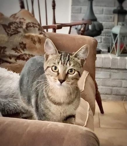 Lost Female Cat last seen Huntington and Whitemarsh, DeLand, FL 32724