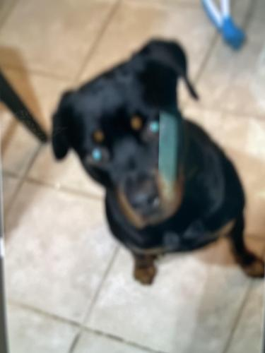 Lost Male Dog last seen 43rd St and Chandler Blvd, Phoenix, AZ 85048