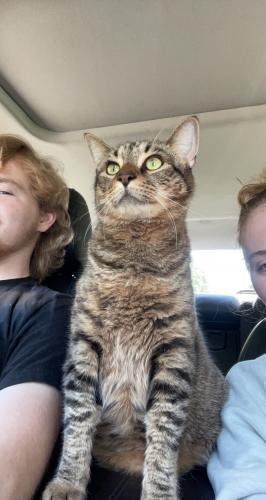 Lost Male Cat last seen Harris Teeter at Brogden Woods drive , Wake County, NC 27587