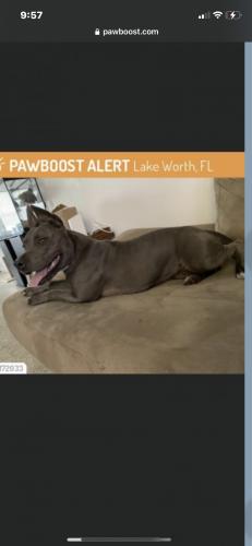 Lost Female Dog last seen Luzon ave & Kirk road, Lake Worth Corridor, FL 33461