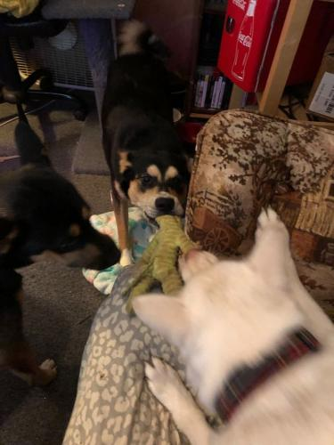 Lost Male Dog last seen Near Caldwell Ave, Mansfield, OH 44905