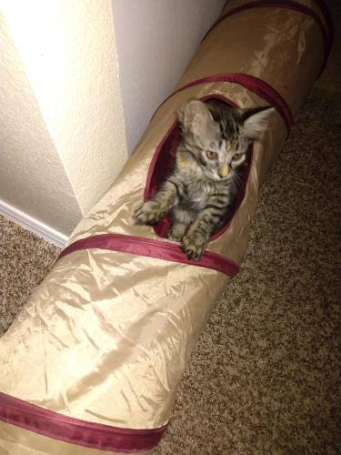 Lost Female Cat last seen 43rd Ave and Yorkshire, Glendale, AZ 85308