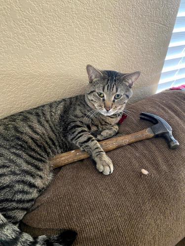 Lost Male Cat last seen W Melinda Ln & w fire hawk Dr, Glendale, AZ 85382