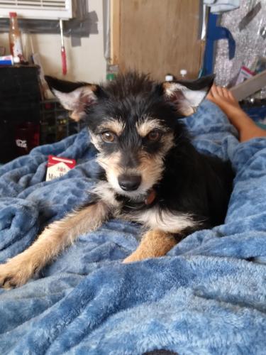 Lost Male Dog last seen Monroe Ave and 6th street , Buckeye, AZ 85326