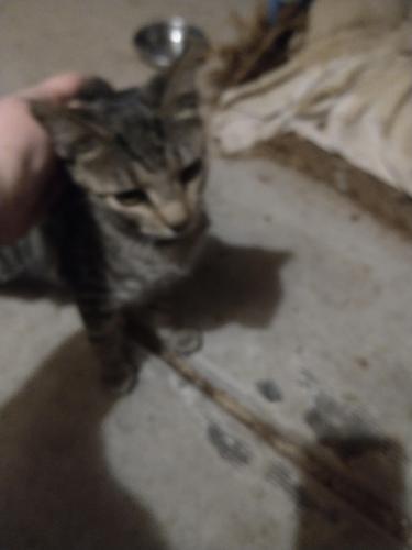 Found/Stray Unknown Cat last seen 55th & Butler, Glendale, AZ 85302