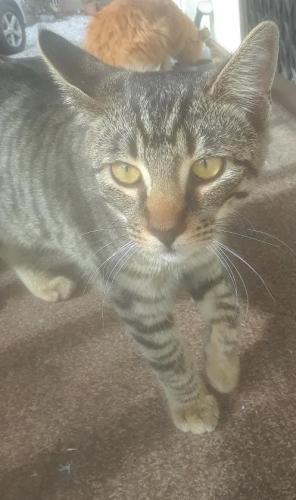 Found/Stray Male Cat last seen Lomita Blvd & Pennsylvania Ave, Lomita, CA 90505