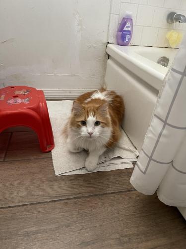 Lost Female Cat last seen Voorhis Elementary School  , El Monte, CA 91732