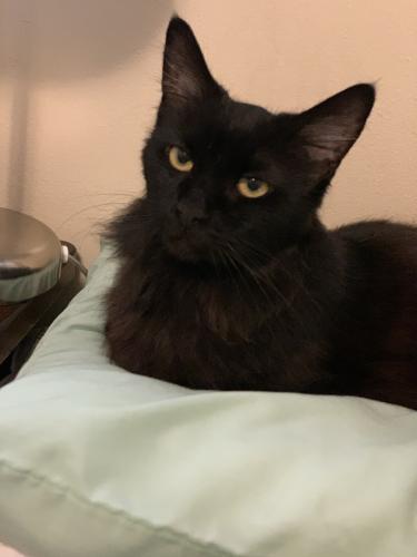 Lost Female Cat last seen W. 3rd St and Vernon Ave. , Azusa, CA 91702