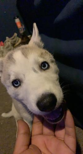 Lost Female Dog last seen Hardt Street Tippecanoe, Loma Linda, CA 92354
